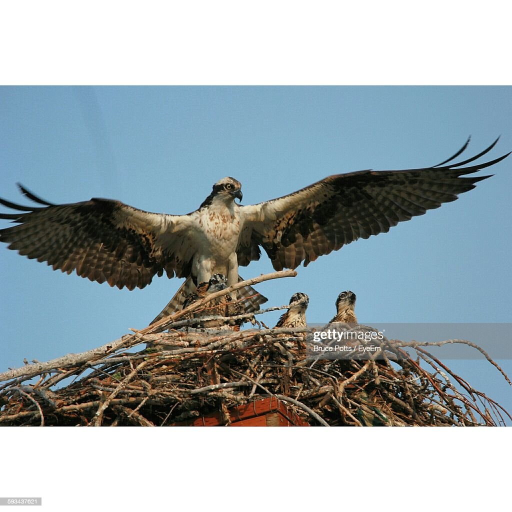 Low Angle View Of Red-Tailed Hawk Building Nest Against Clear Sky : Stock Photo