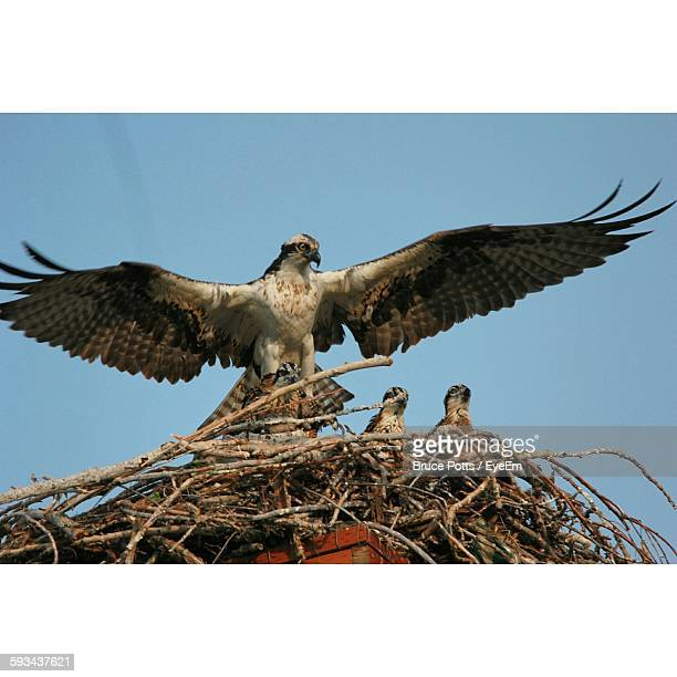 low angle view of red-tailed hawk building nest against clear sky - hawk nest stock photos and pictures