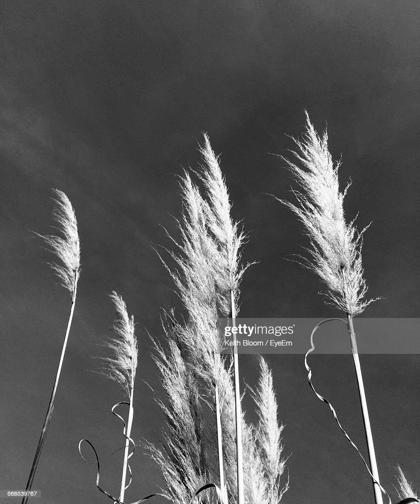 Low Angle View Of Reeds Against Clear Sky : Stock Photo