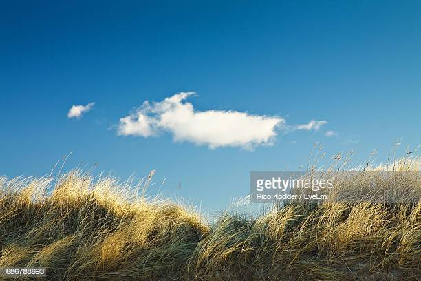 low angle view of reeds growing on field against blue sky - 自生 ストックフォトと画像