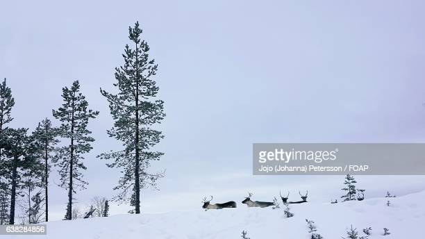 Low angle view of reindeers in winter