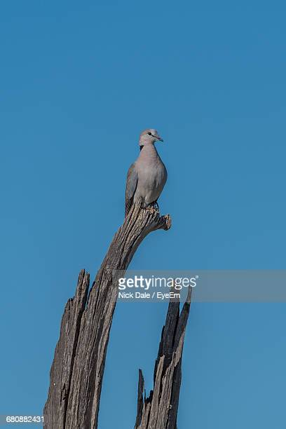 low angle view of ring-necked dove perching on bare tree against clear sky - turtle doves stock photos and pictures