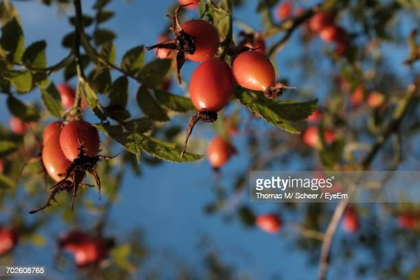 Low Angle View Of Rose Hips Against Blue Sky On Sunny Day