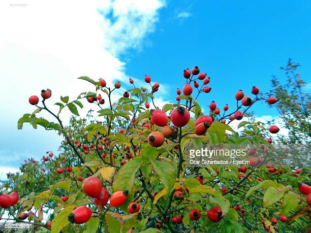 Low Angle View Of Rose Hips Growing On Tree Against Sky