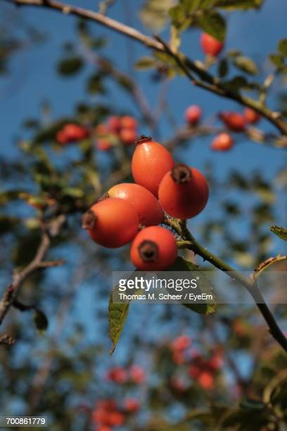 Low Angle View Of Rose Hips Growing On Tree