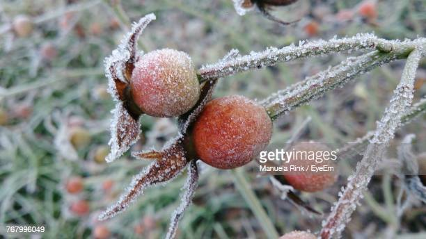 Low Angle View Of Rose Hips On Tree During Winter