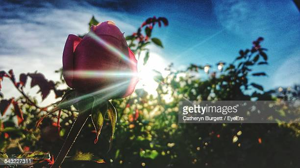 Low Angle View Of Rose On Sunny Day
