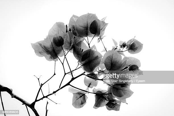 Low Angle View Of Rose Plant Against Clear Sky