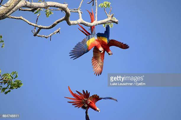 Low Angle View Of Scarlet Macaws Flying Against Clear Blue Sky