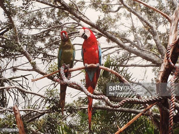 Low Angle View Of Scarlet Macaws Perching On Tree