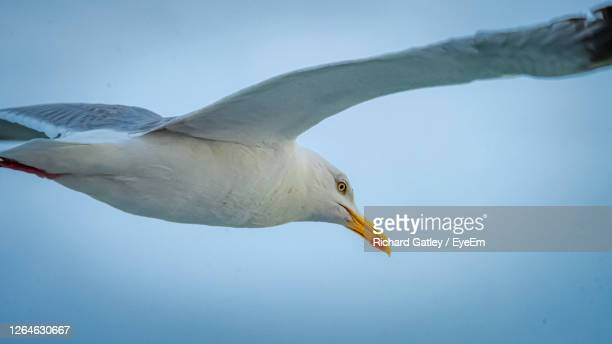 low angle view of seagull against clear sky - chichester stock pictures, royalty-free photos & images