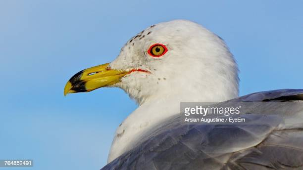 low angle view of seagull against clear sky - one animal stock photos and pictures