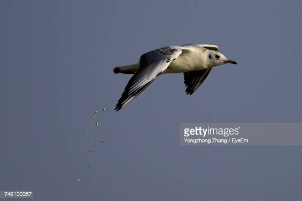 low angle view of seagull defecating in mid-air - scheisse stock-fotos und bilder