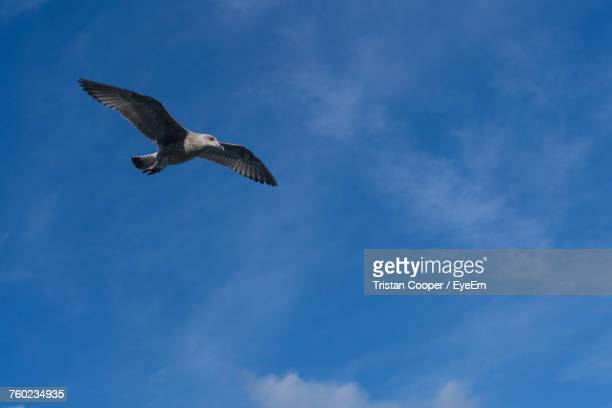 low angle view of seagull flying against blue sky - st ives stock pictures, royalty-free photos & images