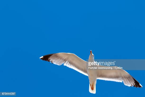 Low Angle View Of Seagull Flying Against Clear Blue Sky On Sunny Day