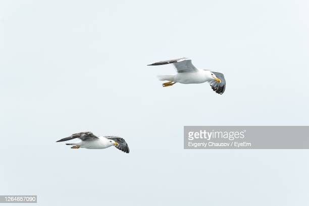 low angle view of seagull flying against clear sky - two animals stock pictures, royalty-free photos & images