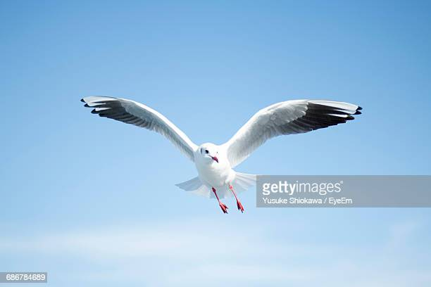 low angle view of seagull flying against clear sky - gaivota - fotografias e filmes do acervo
