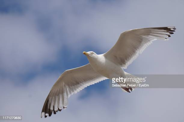 low angle view of seagull flying against sky - seagull stock pictures, royalty-free photos & images