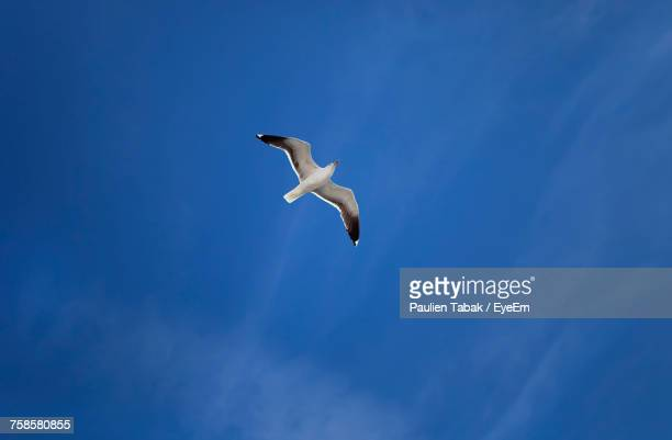 low angle view of seagull flying against sky - paulien tabak stock pictures, royalty-free photos & images