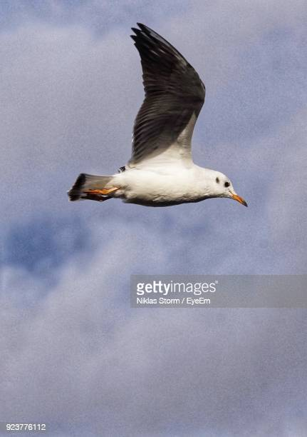 low angle view of seagull flying against sky - niklas storm eyeem stock photos and pictures