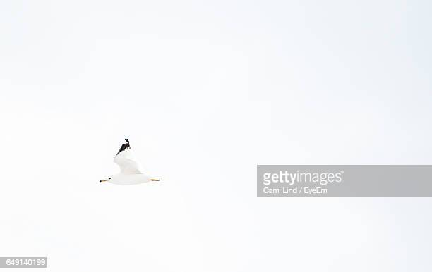 Low Angle View Of Seagull Flying Against White Background