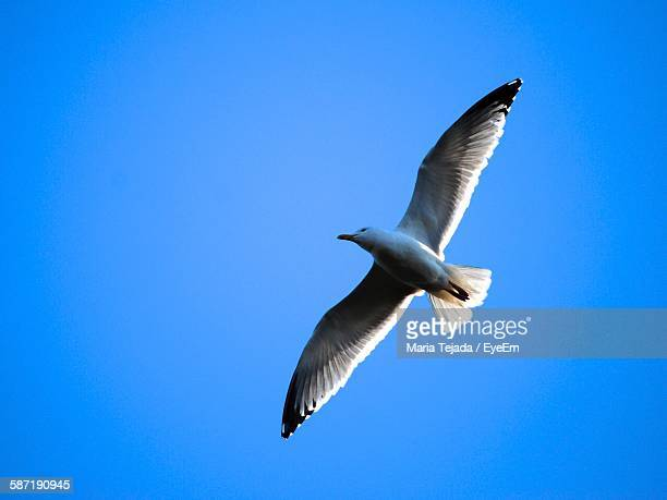 low angle view of seagull flying in clear blue sky - maria tejada stock pictures, royalty-free photos & images