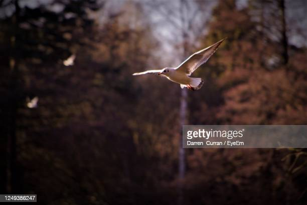 low angle view of seagull flying in forest - curran stock pictures, royalty-free photos & images