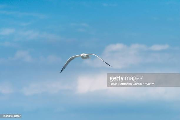 low angle view of seagull flying in sky - st ives stock pictures, royalty-free photos & images