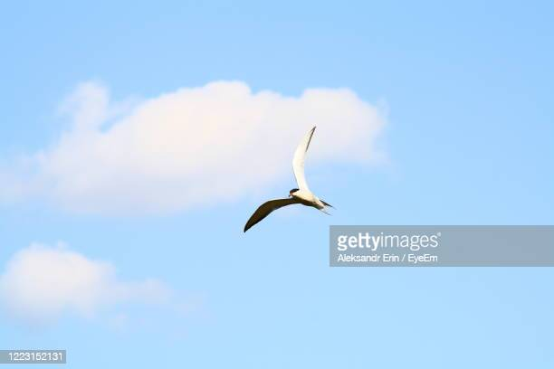 low angle view of seagull flying in sky - ニジニ・ノヴゴロド州 ストックフォトと画像