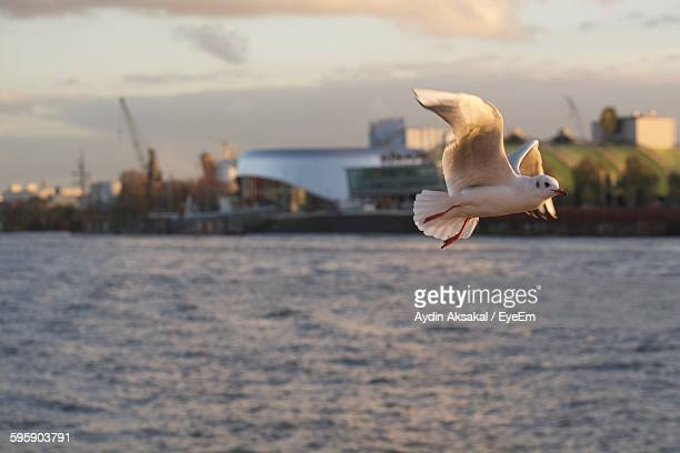 Low Angle View Of Seagull Flying Over Lake