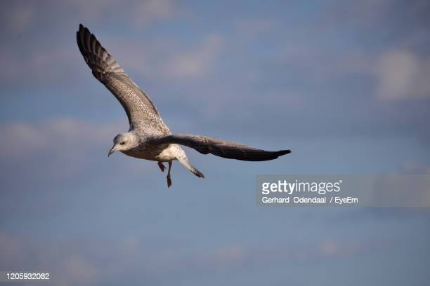 low angle view of seagull flying - eagles london stock pictures, royalty-free photos & images