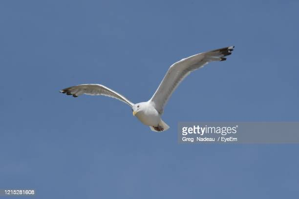 low angle view of seagull flying - greg nadeau stock pictures, royalty-free photos & images