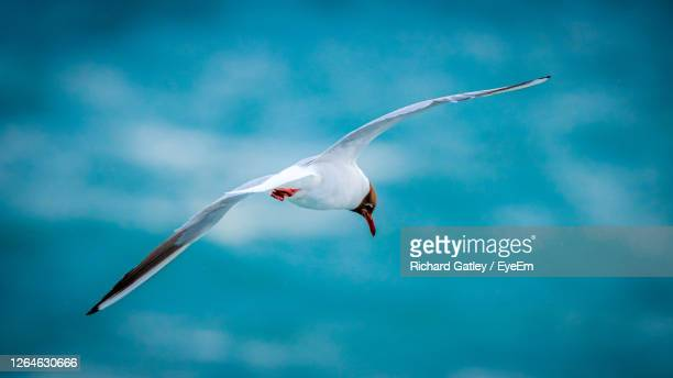 low angle view of seagull flying - chichester stock pictures, royalty-free photos & images