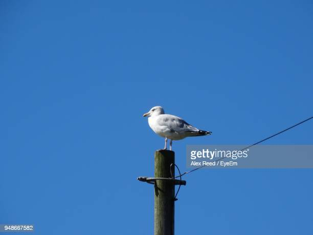 Low Angle View Of Seagull Perching On Pole Against Clear Blue Sky