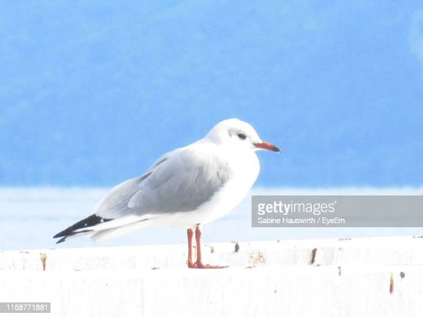 low angle view of seagull perching on white wall against sky - sabine hauswirth stock photos and pictures