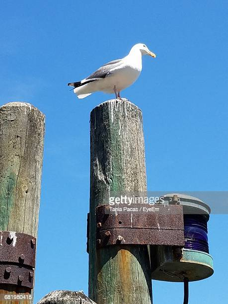 Low Angle View Of Seagull Perching On Wooden Post Against Sky