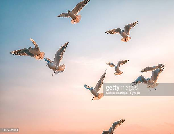 Low Angle View Of Seagulls Flying Against Clear Sky During Sunset