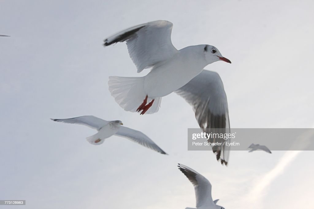 Low Angle View Of Seagulls Flying Against Sky : Photo