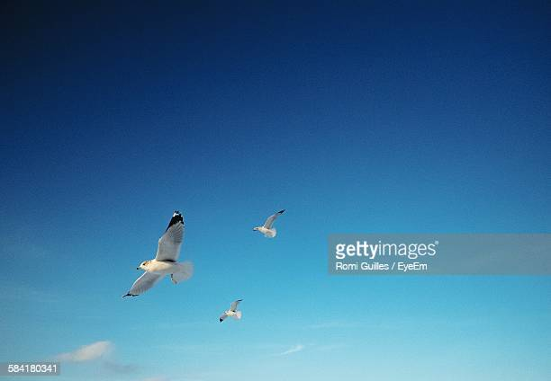 Low Angle View Of Seagulls Flying In Blue Sky