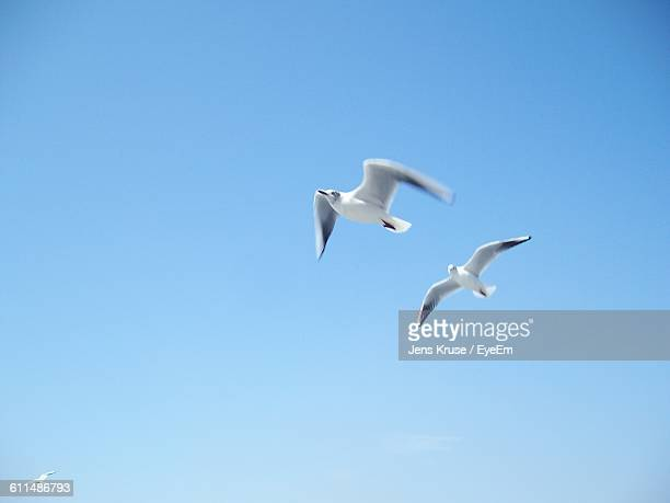 Low Angle View Of Seagulls Flying In Clear Blue Sky