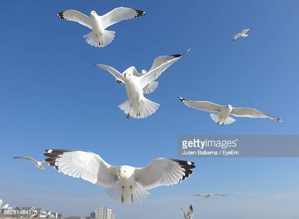 Low Angle View Of Seagulls Flying In Clear Sky