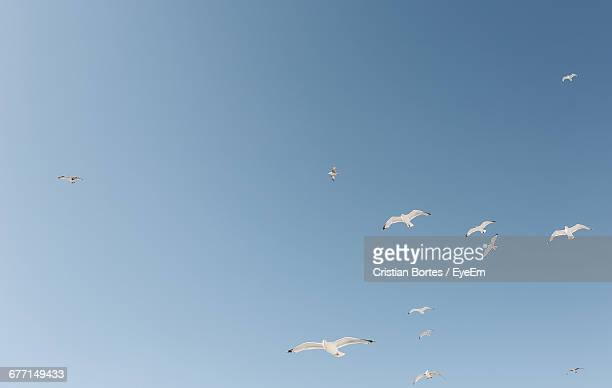 low angle view of seagulls flying in clear sky - bortes fotografías e imágenes de stock