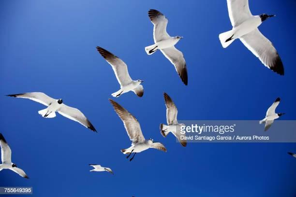 low angle view of seagulls flying in holbox island, quintana roo, yucatan peninsula, mexico - holbox island fotografías e imágenes de stock
