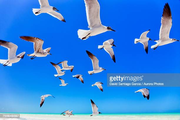 Low angle view of seagulls flying in Holbox Island, Quintana Roo, Yucatan Peninsula, Mexico