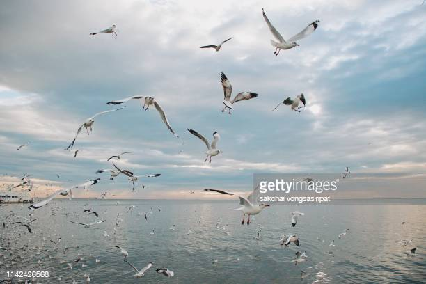 low angle view of seagulls flying in sky at sea during sunset, thailand - spread wings stock pictures, royalty-free photos & images