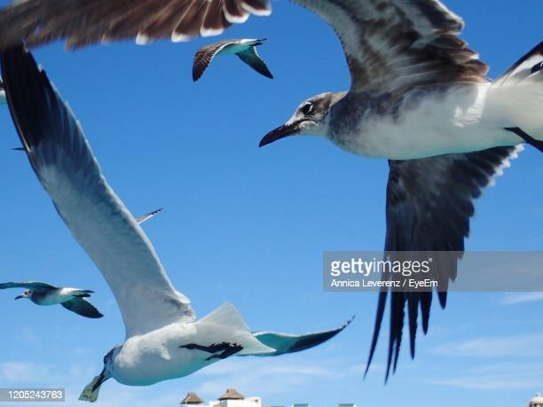 low angle view of seagulls flying in sky - 航空ショー ストックフォトと画像