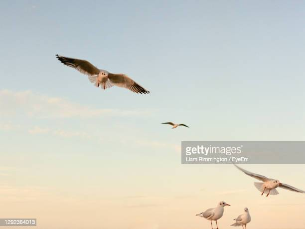 low angle view of seagulls flying in sky - medium group of animals stock pictures, royalty-free photos & images