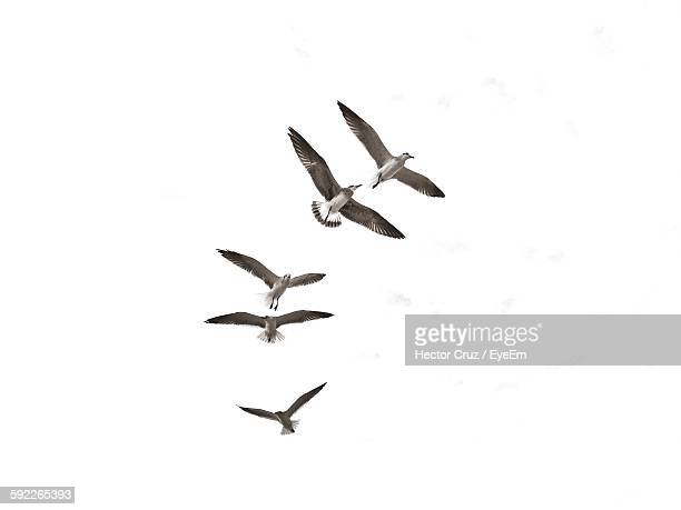 Low Angle View Of Seagulls Flying Together In Clear Sky