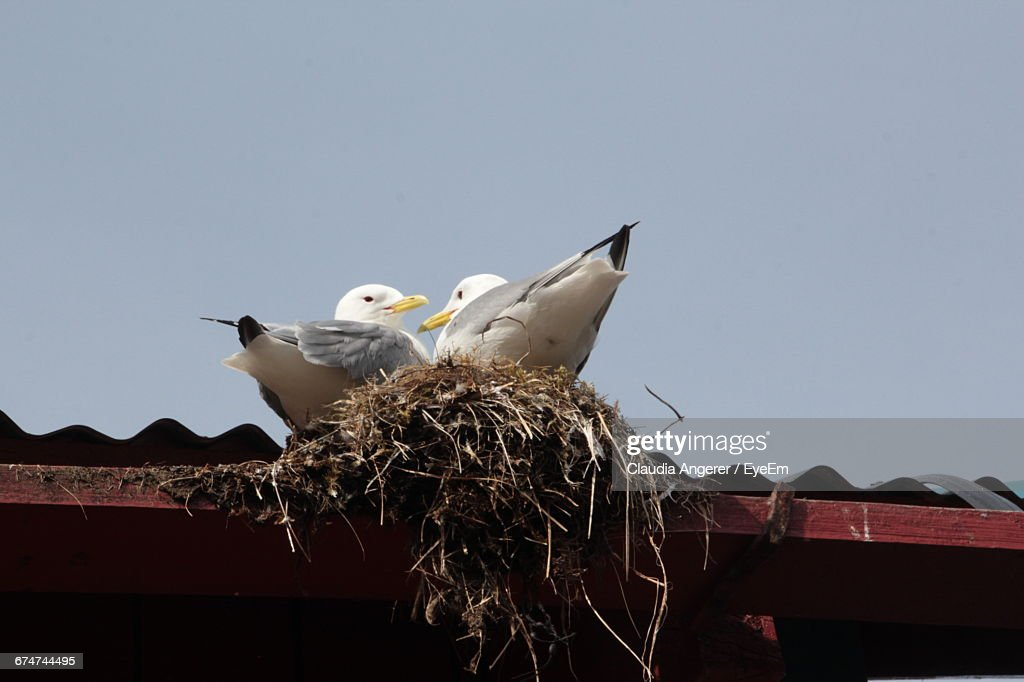 Low Angle View Of Seagulls On Nest Over Roof Against Clear