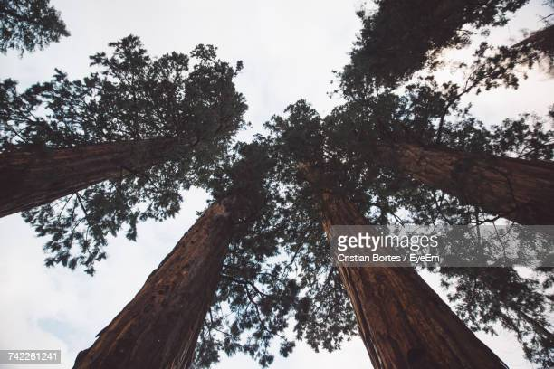 low angle view of sequoia trees against sky at sequoia national park - bortes stock pictures, royalty-free photos & images